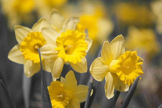 Daffodil Faces by Dawn Romine