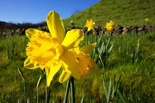 Baslee Troutman - Daffodil Flowers Field Hillside Spring art prints