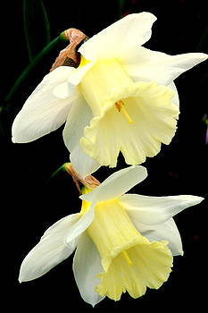 Rosanne Jordan - Daffodil Friendship