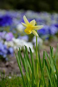 Gynt   - Daffodil