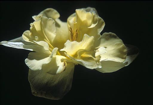 Harold E McCray - Daffodil