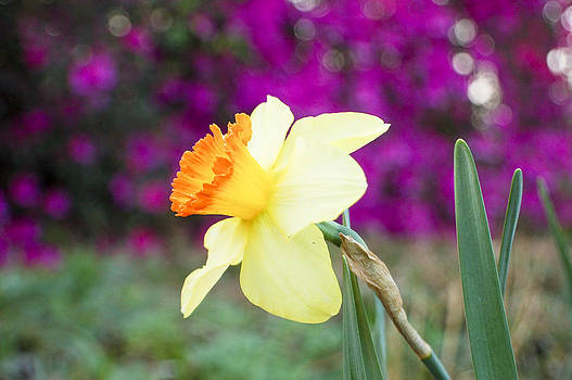Daffodil by Heather S Huston