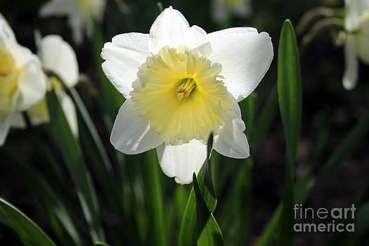Daffodil by Kathy DesJardins