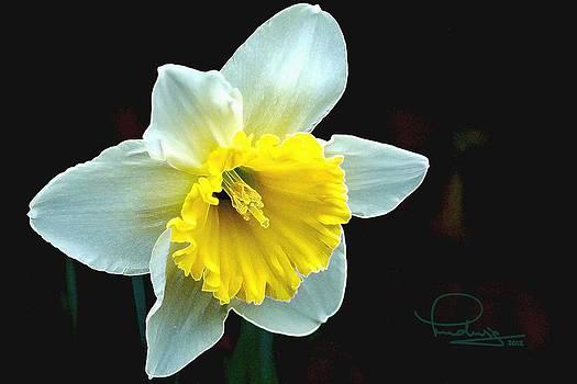 Ludwig Keck - Daffodil