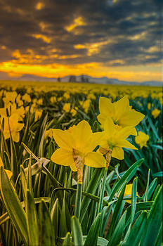 Puget  Exposure - Daffodil Portrait