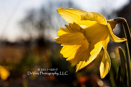 Daffodil by Stephani JeauxDeVine