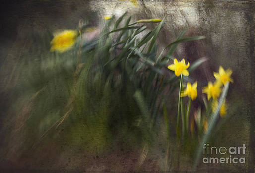 Angel  Tarantella - daffodills