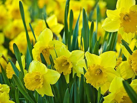 Daffodils 1 by Bernd Buessecker
