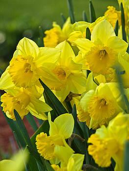 Daffodils 2 by Bernd Buessecker
