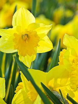 Daffodils 3 by Bernd Buessecker