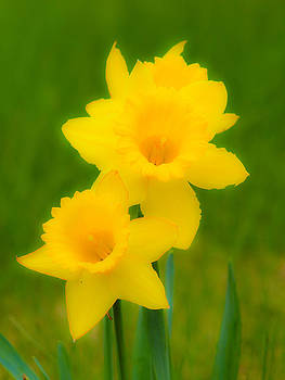 Daffodils 5 by Bernd Buessecker