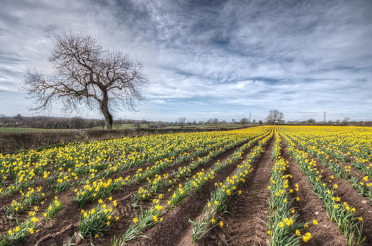 Daffodils and Tree by Mike  Hardisty