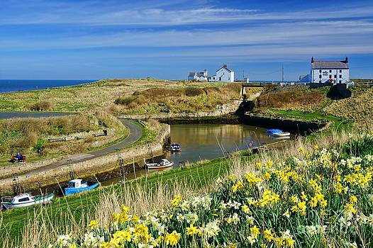 Seaton Sluice Harbour Daffodils by Les Bell