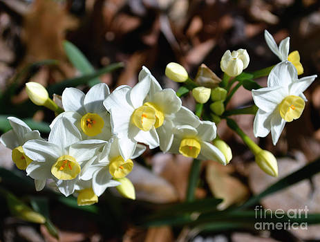 Daffodils Blooming by Eva Thomas
