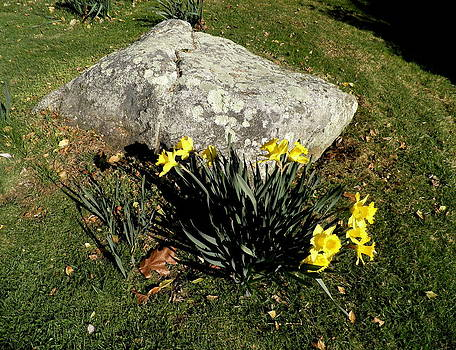 Kate Gallagher - Daffodils by a Rock