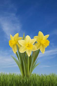 Daffodils by Gillian Dernie