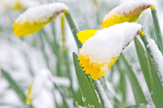 Fizzy Image - Daffodils in the spring snow