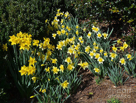 Daffodils Sway by Eva Thomas