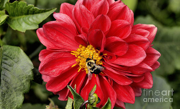 Dahlia And Bee by Candy Frangella