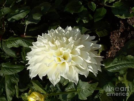 Dahlia cream by Pamela Roberts-Aue