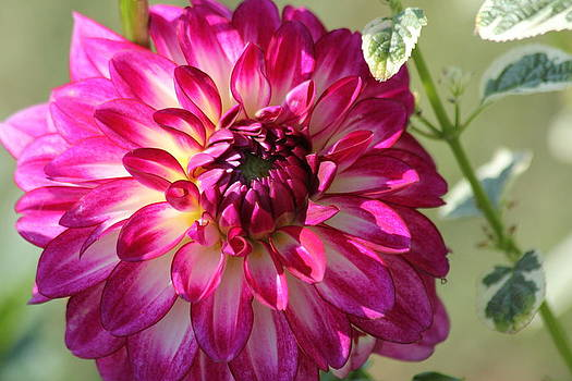 Dahlia Dream by James Hammen