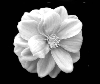 Dahlia in Black and White by Linda Rae Cuthbertson