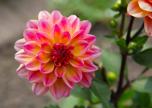 Dahlia in Full Bloom by James Hammen