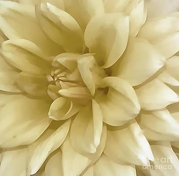 Dahlia In Ivory by Kathleen Struckle