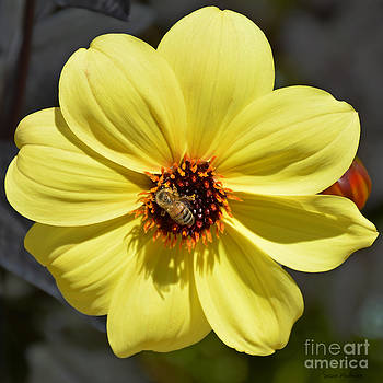 Dahlia Knockout With a Visitor by Susan Wiedmann