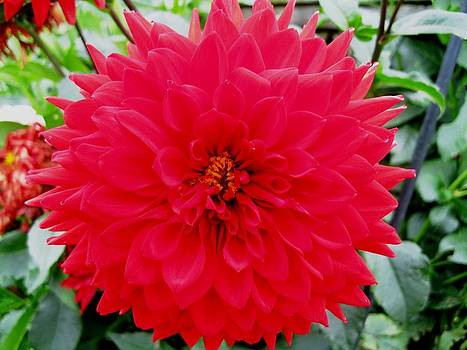 Dahlia Red by Will Boutin Photos