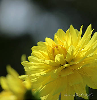 Dahlia Sun by Diana Walker