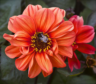 Venetia Featherstone-Witty - Dahlia with Bee