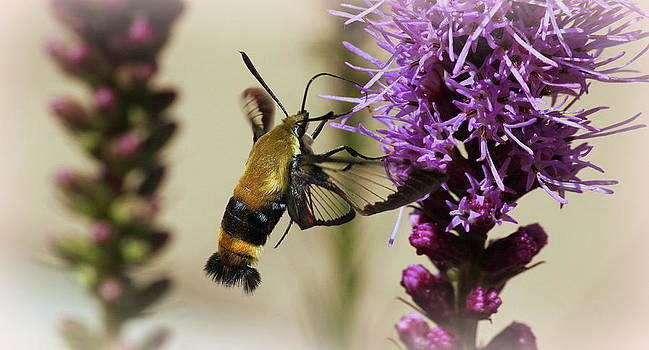 Rosanne Jordan - Dainty Hummingbird Moth