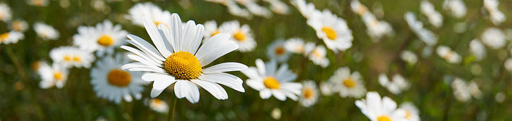 Daisies by Adrian Brockwell