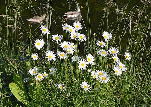 Bishopston Fine Art - Daisies and Ducks