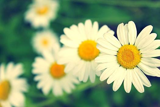 Daisies by Candice Trimble