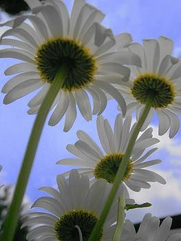 Daisies from Down Under by Marisa Horn