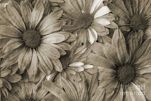 Jill Lang - Daisies in Sepia Tone
