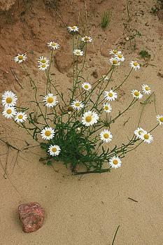 Randy Pollard - Daisies in the Sand