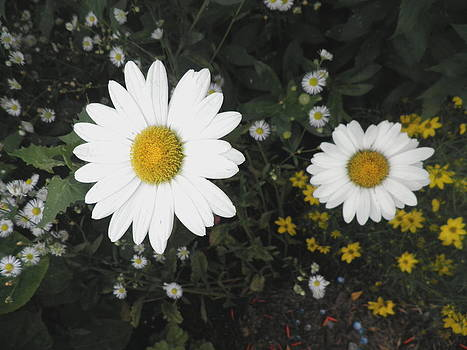Kate Gallagher - Daisies