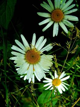 Daisies by Mark Malitz