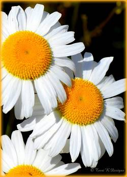 Daisies Three by Terri K Designs