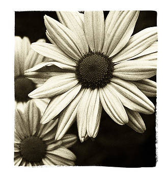Daisy 1 by Tanya Jacobson-Smith