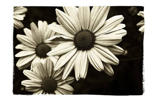 Daisy 2 by Tanya Jacobson-Smith