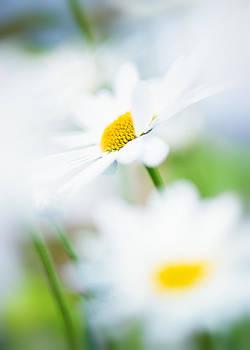 Daisy Air by Sarah-fiona  Helme