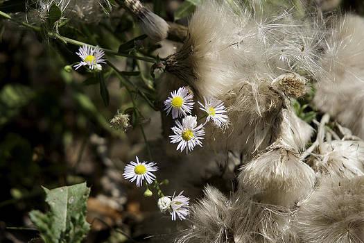 Daisy and Dandelion by John Holloway