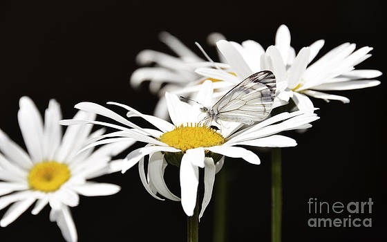Daisy and the buterfly by Susie Fisher