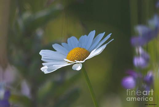 Daisy  by Chris Heitstuman