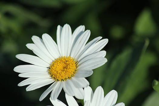Daisy Delight by James Hammen