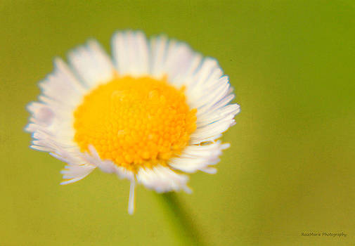 Daisy dew by Vanessa Parent
